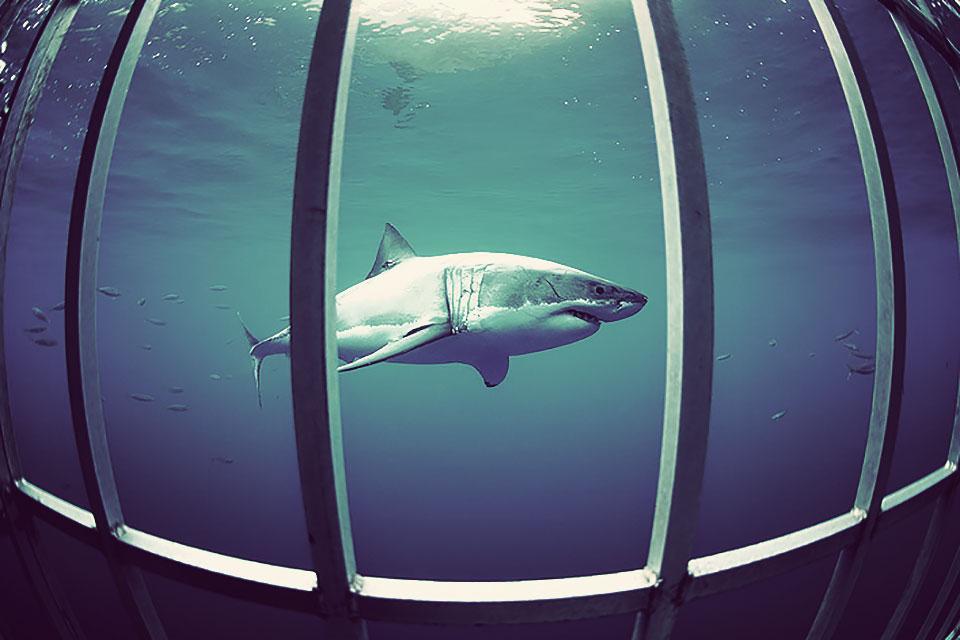 shark-dives-1