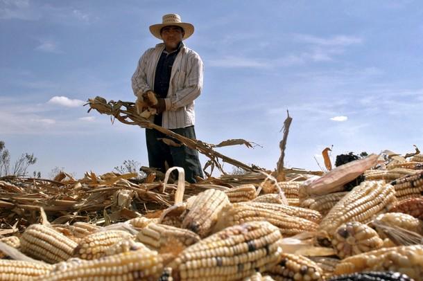Сбор мексиканского маиса на ферме близ Сан Николас. Пуэбла. Мексика