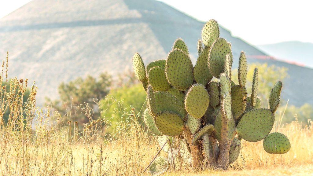 Огромное количество мексиканских кактусов нопаль на территории археологического комплекса Теотиуакан, Мексика