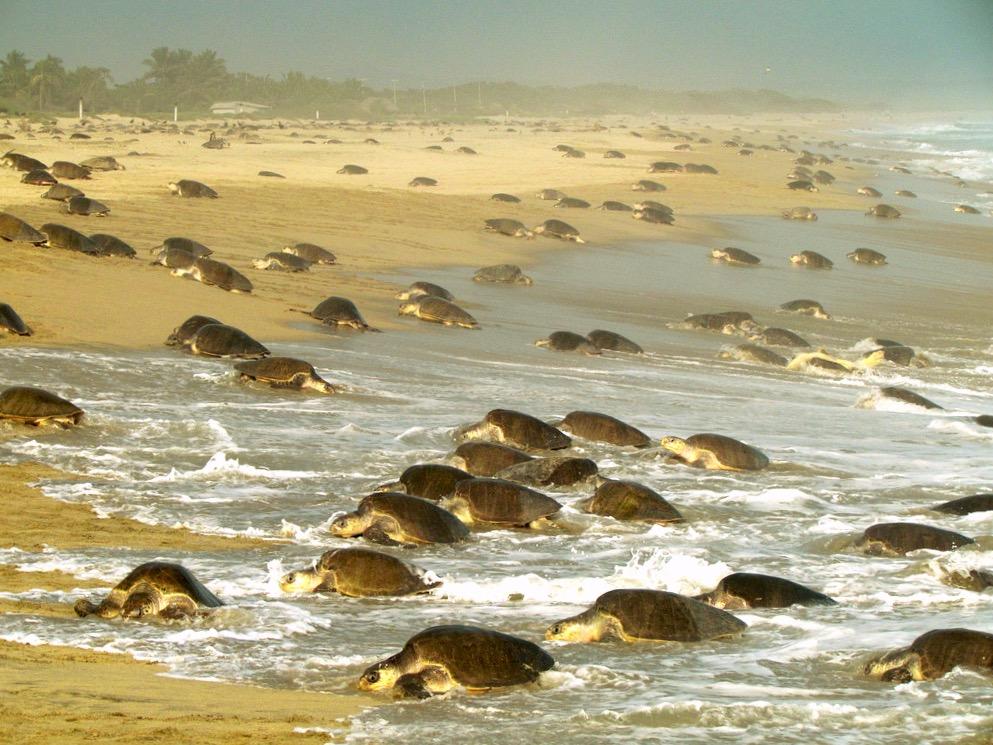Кладка яиц черепах Олив Ридлей на мексиканском заливе, Мирамар, Тамаулипас