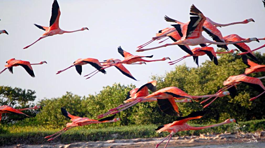 Взлетающие птицы розовые фламинго в заповеднике Рио Лагартос, Мексика