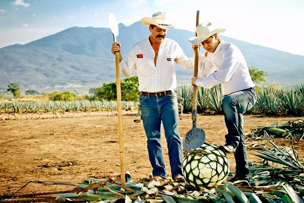 Фермеры на плантации агавы, процесс производства текилы. Штат Халиско, Мексика