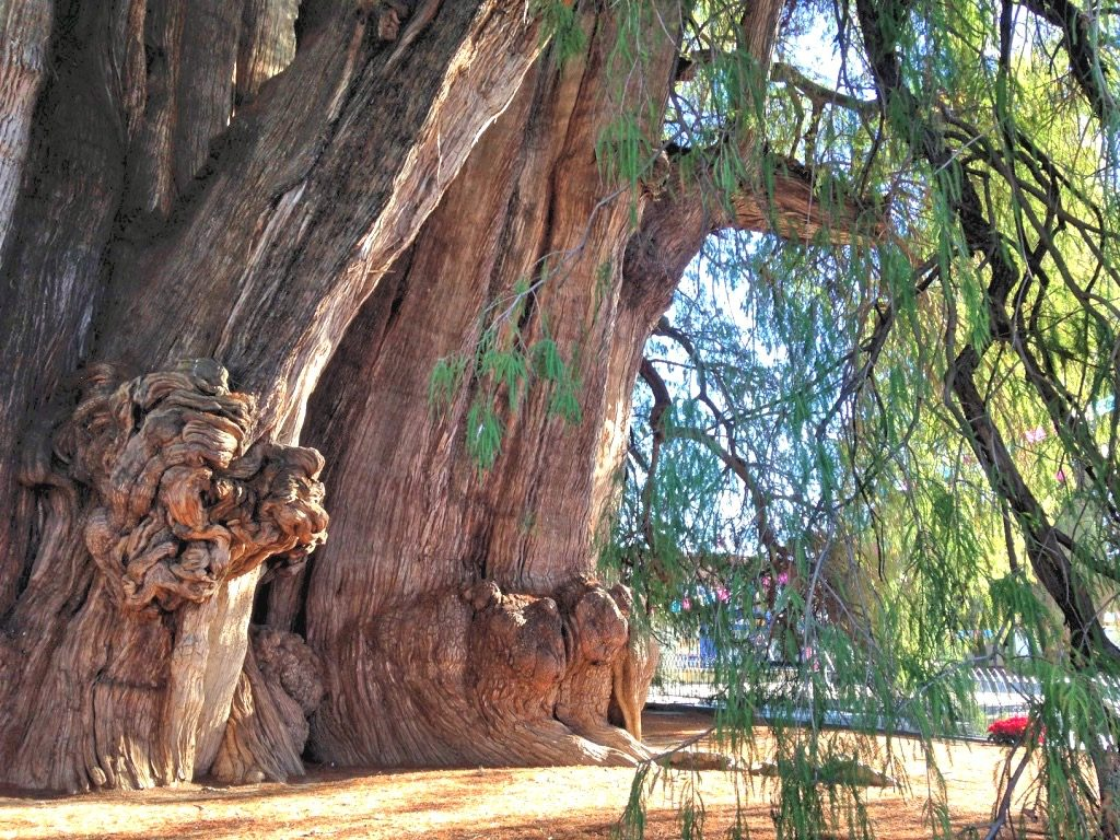 Причудливые формы на стволе дерева Туле