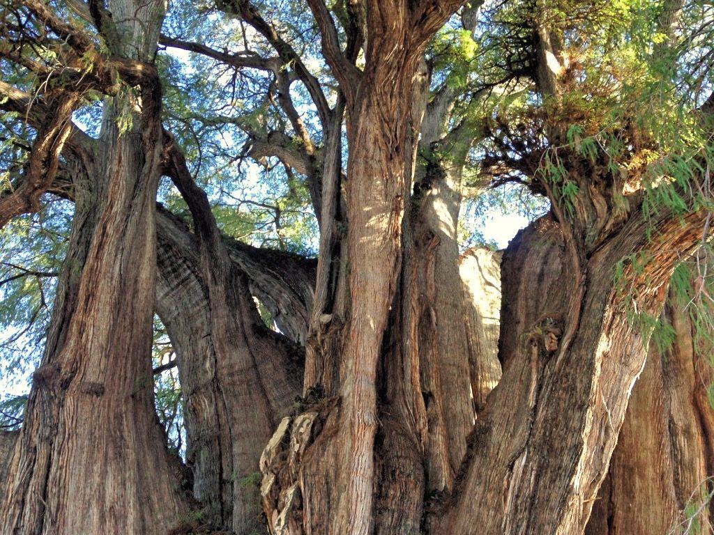 Ствол дерева Туле