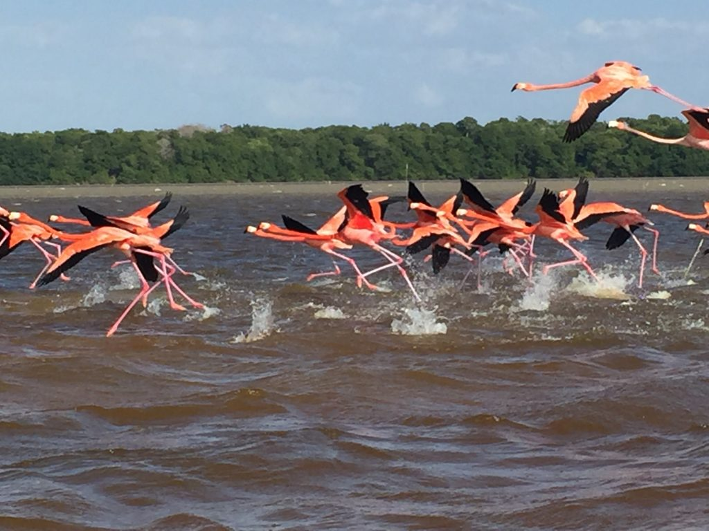 Колонии розовых фламинго