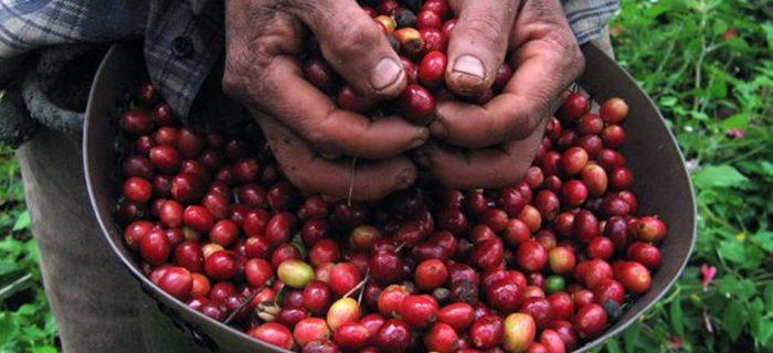 Кофе , штат Веракурс
