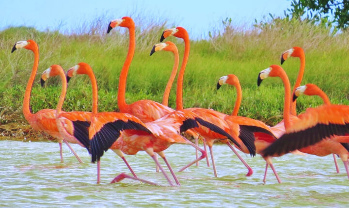 Биосферный заповедник Рио Лагартос, Мексика. Розовый фламинго в Мексике
